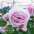 【バラ苗】 ジャスミーナ 大苗 ピンク バラ 苗 薔薇