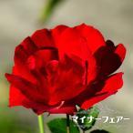 バラ苗 マイナーフェアー 修景バラ 四季咲き 赤色 バラ