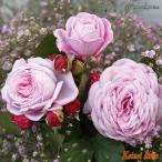 バラ苗 マリー ヘンリッテ つる性 四季咲き クォーターロゼット咲き ピンク花 2016年度 バラ新品種
