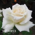 バラ苗 つるパスカリ (大輪) 国産苗 大苗 6号ポット 四季咲き 白色 バラ 苗 つるばら 予約販売2017年1月中旬頃お届け予定