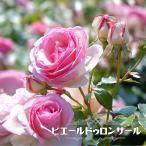 バラ苗 ピエールドゥロンサール 1年生 新苗 つるバラ 初心者に超おすすめ つる性 ピンク バラ 苗 つるばら バラ苗木