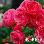 【バラ苗】 ポンポネッラ 大苗 つるバラ  初心者に超おすすめ 四季咲き ピンク色 強健 バラ 苗 バラ苗木