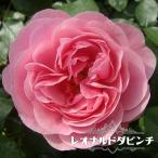 バラ苗 レオナルドダビンチ 3年生特大苗 つるバラ ピンク バラ 苗 つるばら バラ苗木 予約販売2017年9月下旬頃お届け予定