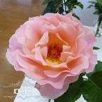 バラ苗 ロココ 大苗 つるバラ ピンク バラ 苗 つるばら
