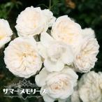 バラ苗 サマーメモリーズ 大苗 つるバラ  四季咲き 白色 強健 バラ 苗 バラ苗木