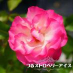 バラ苗 つるストロベリーアイス 1年生 新苗 つるバラ 四季咲き ピンク 強健 バラ 苗 つるばら