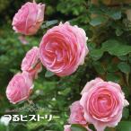 バラ苗 つるヒストリー 大苗 つるバラ トゲが少ない 四季咲き ピンク バラ 苗 バラ苗木
