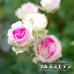 バラ苗 つるミミエデン 大苗 つるバラ  ピンク バラ苗木