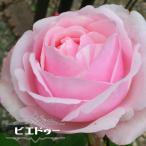 バラ苗 ビエドゥー 大苗 デルバール (Del) 四季咲き ピンク 強香 強健 バラ 苗 バラ苗木