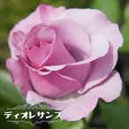 バラ苗 ディオレサンス 大苗 デルバール (Del) 四季咲き 紫色 強香 バラ苗木