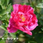 バラ苗 ギーサヴォワ (大輪 デルバール ) (Del) 大苗 6号ポット 四季咲き ピンク 強香 強健 バラ 苗