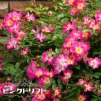 バラ苗 ドリフトローズ ピンクドリフト 修景バラ 四季咲き