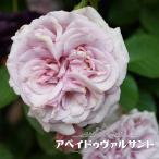 バラ苗 アベイドゥヴァルサント 大苗 フレンチローズ Dor 四季咲き ピンク 強香 バラ苗木