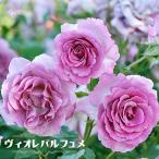 バラ苗 ヴィオレパルフュメ 大苗  フレンチローズ Dor 四季咲き 紫色 強香 バラ苗木