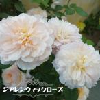 バラ苗 ジアレンウィックローズ 大苗 イングリッシュローズ 四季咲き