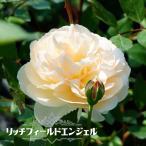 バラ苗 リッチフィールドエンジェル 大苗 イングリッシュローズ 四季咲き