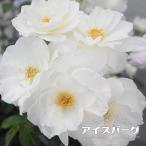 バラ苗 アイスバーグ 大苗 木立バラ FL トゲが少ない 木立 四季咲き 白色 強健 バラ 苗