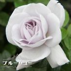 バラ苗 ブルーバユー 1年生 新苗 木立バラ FL 四季咲き 青紫色 トゲが少ない バラ 苗