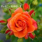 バラ苗 ディズニーランドローズ 大苗 木立バラ 四季咲き オレンジ色 バラ 苗 木立 バラ苗木