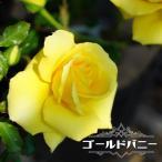 バラ苗 ゴールドバニー 大苗 木立バラ トゲが少ない 超多花性 黄色 四季咲き 黄色 強健 バラ 苗