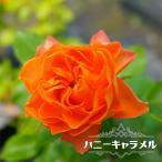 バラ苗 ハニーキャラメル 木立バラ FL 四季咲き オレンジ色 バラ 苗 予約販売12月〜翌1月頃入荷予定