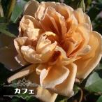 バラ苗 カフェ 大苗 木立バラ 四季咲き 茶色 バラ 苗 バラ苗木