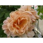 バラ苗 カフェ 1年生 新苗 木立バラ FL 四季咲き 茶色 バラ 苗