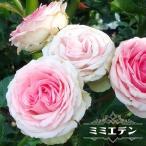バラ苗 ミミエデン 大苗 木立バラ  四季咲き ピンク バラ苗木