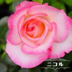 バラ苗 ニコル 大苗 木立バラ 四季咲き 複色 バラ 苗 予約販売2017年1月中旬頃お届け予定