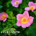 バラ苗 レインボーノックアウト 大苗 木立バラ  四季咲き 複色 強健 バラ 苗