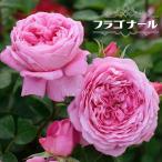 バラ苗 フラゴナール デルバール (del)大苗 6号ポット ピンク色 バラ 苗 四季咲き 直立性 大輪