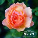 【バラ苗】 グレイス (大輪 イングリッシュローズ )6号ポット 大苗 四季咲き 強健