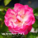 【バラ苗】 つるストロベリーアイス 四季咲き 強健 つるバラ
