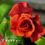 バラ苗 ブラックティー 大苗 木立バラ 四季咲き 茶色 バラ 苗 バラ苗木
