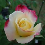 バラ苗 ダブルデライト オリジナル角鉢 中苗 四季咲き 複色 強香 バラ 苗 冬のバラSALE