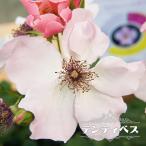 バラ苗 デンティベス 国産苗 大苗 6号ポット 四季咲き ピンク バラ 苗 予約販売2017年1月中旬頃お届け予定
