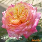 バラ苗 コルデスジュビリー 大苗 6号ポット 四季咲き つるバラ ピンク 病気に強い クライミングローズ