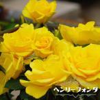 バラ苗 ヘンリーフォンダ 国産苗 大苗 6号ポット 四季咲き 黄色 バラ 苗