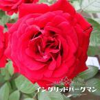 バラ苗 イングリッドバーグマン 国産苗 大苗 6号ポット 四季咲き 赤色 強健 バラ 苗