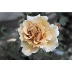 バラ苗 ジュリア オリジナル角鉢 中苗 木立バラ 四季咲き 茶色 強健 バラ 苗 バラ苗木