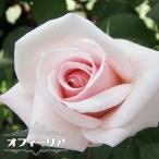 バラ苗 オフィーリア 国産苗 大苗 6号ポット 四季咲き ピンク 強香 強健 バラ 苗
