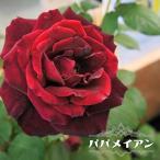 バラ苗 パパメイアン 国産苗 大苗 6号ポット 四季咲き 黒赤 強香 バラ 苗