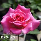 バラ苗 ピンクパンサー (HT) 国産苗 大苗 6号ポット 四季咲き ピンク 強健 バラ 苗