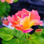 バラ苗 ラジオ 角鉢新苗 木立バラ 四季咲き バラ苗木