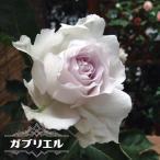 バラ苗 ガブリエル 大苗 木立バラ 河本バラ園 四季咲き 白色 強香 バラ 苗 バラ苗木