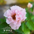 バラ苗 木立バラ FL 四季咲き ピンク 強香 バラ 苗 薔薇