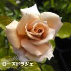 バラ苗 木立バラ 大苗 四季咲き ピンク バラ 苗 薔薇