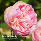 バラ苗 トットちゃん (大輪) (河本バラ園) 大苗 6号ポット 四季咲き ピンク 強香