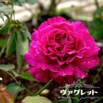 バラ苗 ヴァグレット 大苗 木立バラ 河本バラ園 四季咲き 強香 紫色 バラ 苗