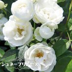 バラ苗 シュネープリンセス (ミニバラ) 国産苗 1年生 新苗 四季咲き 白色 バラ 苗